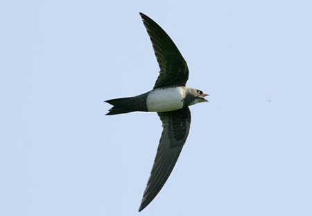 AlpineSwift